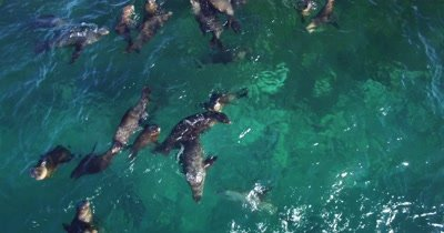 Aerial of Sea lions playing at surface pull back