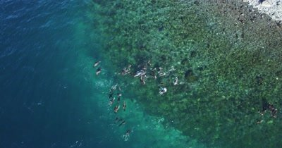 Aerial of Sea lions playing at surface move forward