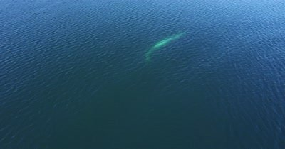 Aerial of two Fin whales displaying courtship behaviour