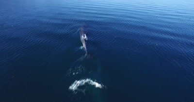 Aerial of Fin whales spraying from blowhole