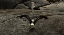 Skua Flies, Lands On Rock