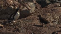 Skua Harasses Gentoo Penguin With Chick