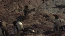 Skua And Gentoo Penguins On Rocky Antarctica Shore