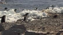 Gentoo Penguin Chases Off Skua