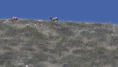 Big Horn Sheep in Wyoming