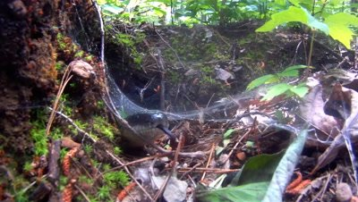 Black Rat Snake Slithers out of Burrow