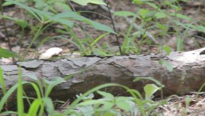 Black Rat Snake Slides Through Forest