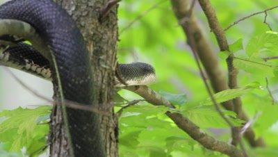 Black Rat Snake Slithers Along Tree Branch