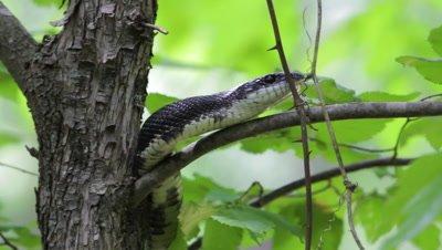 Black Rat Snake Climbs Tree Branch