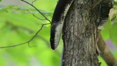 Black Rat Snake Climbs Down Tree