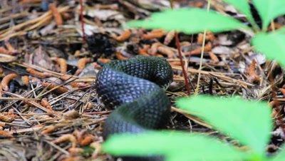 Black Rat Snake Looks For Prey, Slithers Off