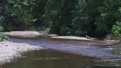 Great Blue Heron Walks Across Creek