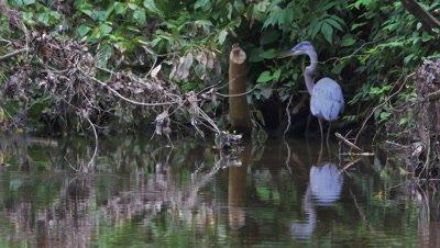 Great Blue Heron Standing in Creek