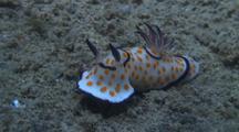 Nudibranch On Sand