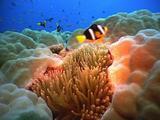 Clark's Anemone Fish Swim Above Coral