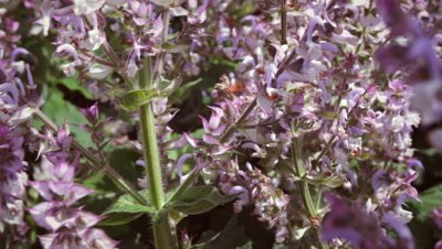 Close-up of bee and light purple flowers.