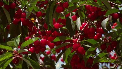 Close-up shot of bunches of cherries.