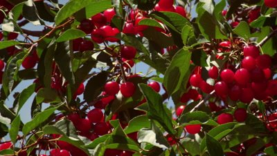 Close-up shot of cherries on cherry tree
