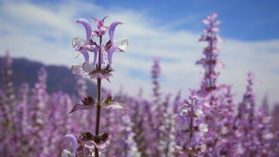 Racking focus of lavender flowers