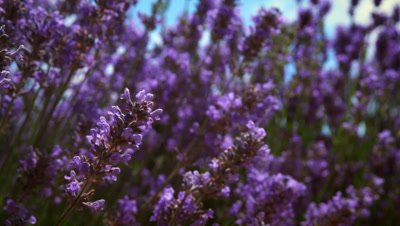 Close-up racking shot of lavender flowers and a bee