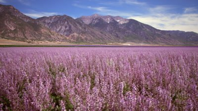 Wide shot of lavender field and mountains