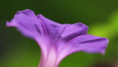Racking focus close up of a single purple flower