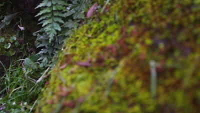 Tracking shot of moss carpeting forest floor