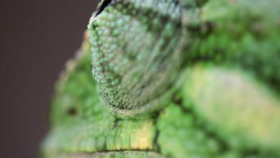 Extreme close up of chameleon's roving eye
