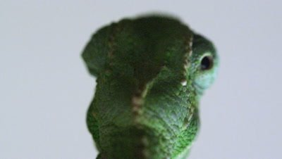 Close up of chameleon eye movement from behind