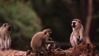 Four vervet monkeys on a fallen tree trunk
