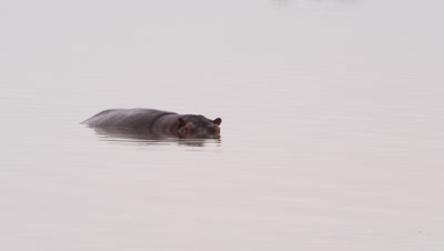Hippo treads water; another hippo resurfaces
