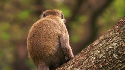 Vervet monkey sits on a tree with its back to the camera