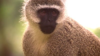 Close up on a vervet monkey's face