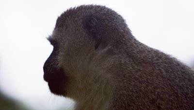 Close up on a vervet monkey's profile