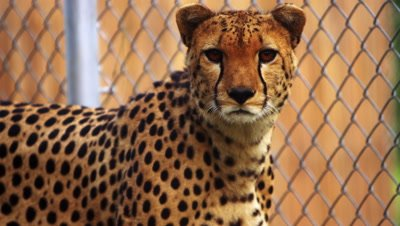 Cheetah sits next to chain-link fence