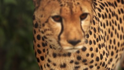 Close up footage and pan of walking cheetah