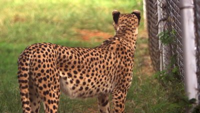 Cheetah standing by chain-link fence