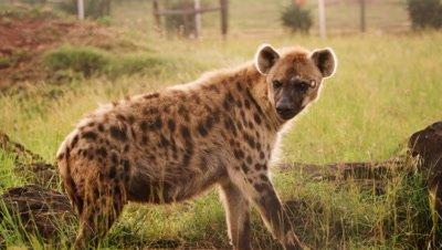 Medium shot of hyena in enclosure