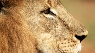 Close up of male lion profile