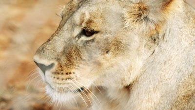 Close up of female lion on opposite side of fence