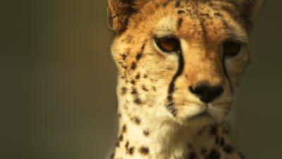 Close up on alert cheetah