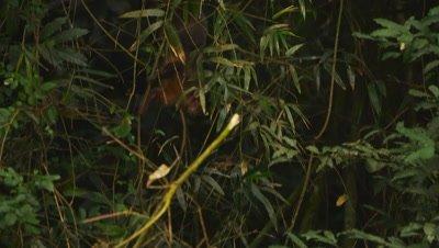 Monkey moves through jungle foliage
