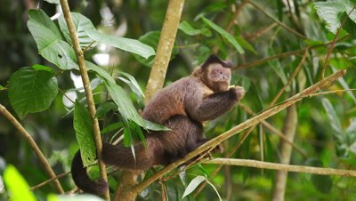 Capuchin monkey in a tree eating a piece of fruit.