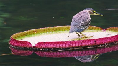 Shot of bird floating on green-and-pink lilly pad in Rio.