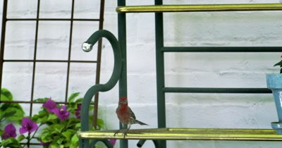 Slow motion view of a Cassins Finch sitting on a bench next to a house.