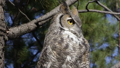 Tight shot of great horned owl hooting in a tree.