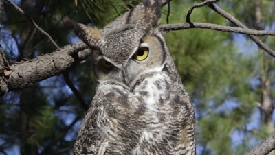 Tight shot of great horned owl in a tree.