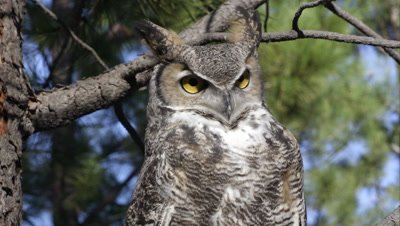 Close shot of great horned owl hooting in a tree.