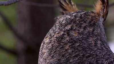 Tight shot of great horned owl's head swiveling and hooting.