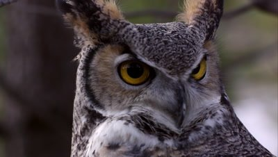 Close shot of great horned owl's head swiveling and hooting.